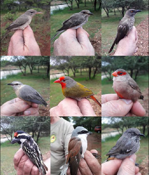 Some of the birds caught at Birdlife Polokwane's Summer Bird Ringing Day in the Polokwane Game Reserve on 17 March 2018.