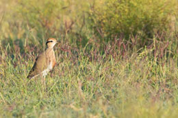 The everpopular Temminck's Courser was one of the highlights of the outing
